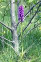 Dactylorhiza en Hautes Alpes Dsc_8410