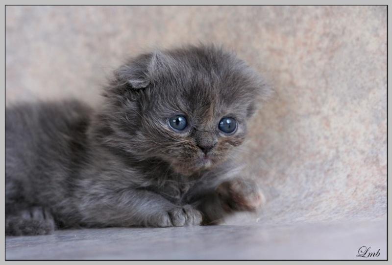 Mes chatons nés le 15 mai Bleucr10