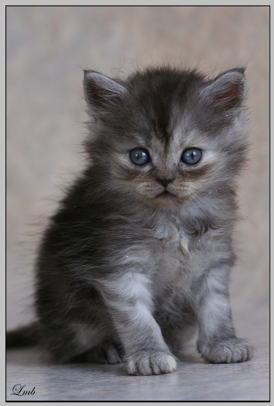 Mes chatons nés le 15 mai Chandi10