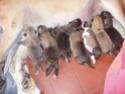 Ils sont nés!!! (Domaine de Runneval) Chiots15