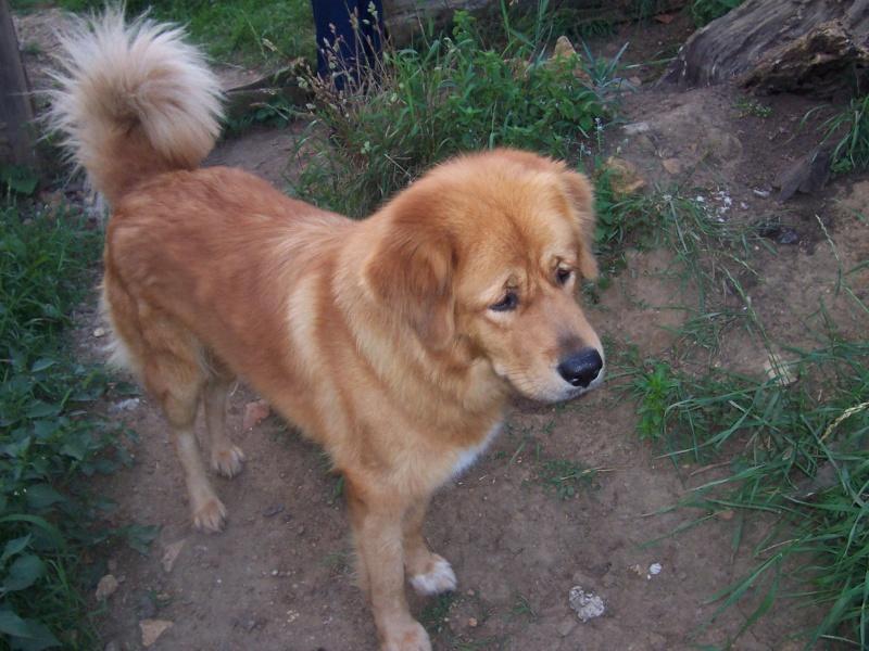 Dogue du tibet Vadhie10