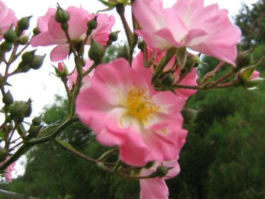 La première floraison Img_1912