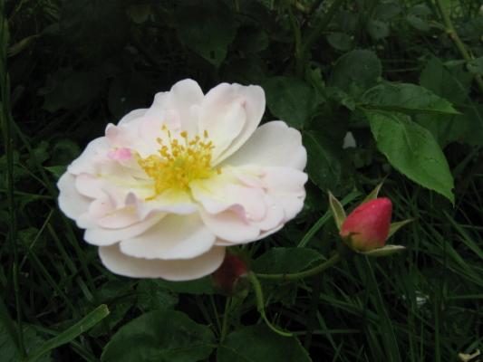La première floraison Img_1913
