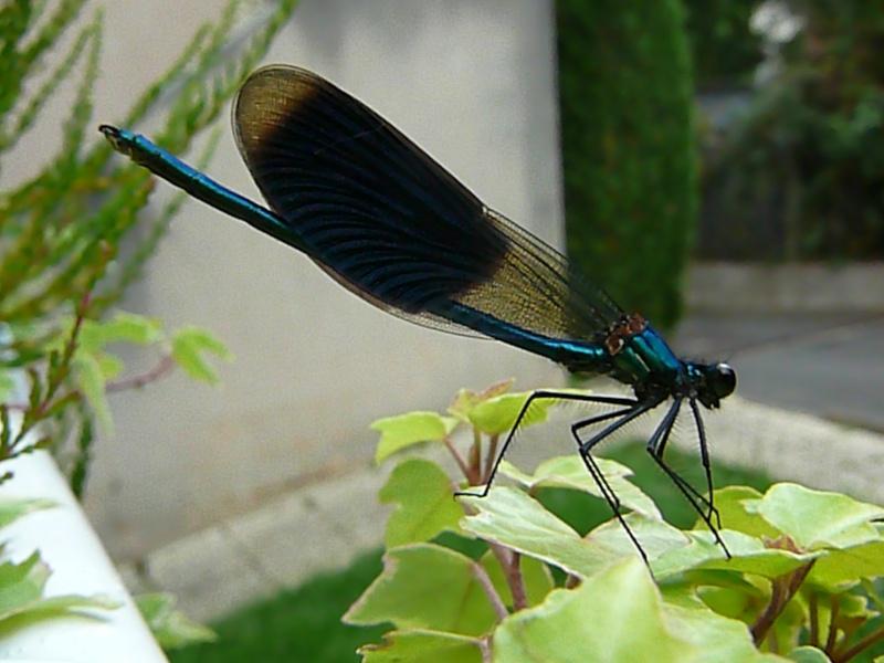 Demande d'identification - ça ressemble à une libellule... Pseudo14