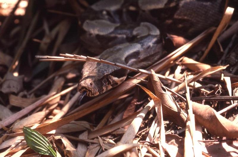 Le boa constricteur dans son milieu naturel Boa-210