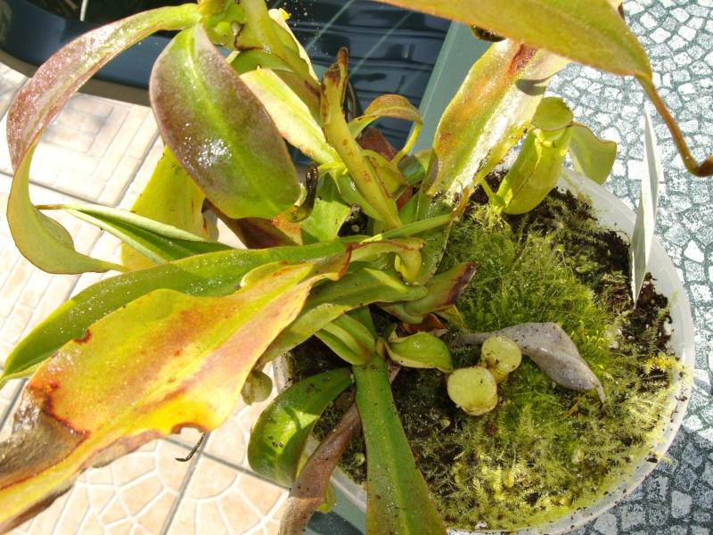 plante de lorenzo Imgp0213