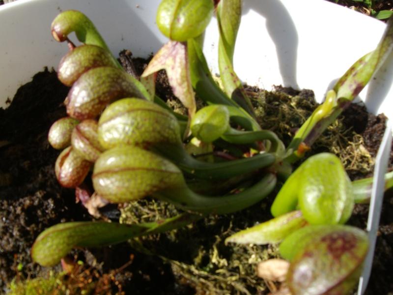 plante de lorenzo Imgp0231