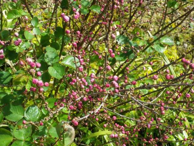 Prunus ??? 04042030