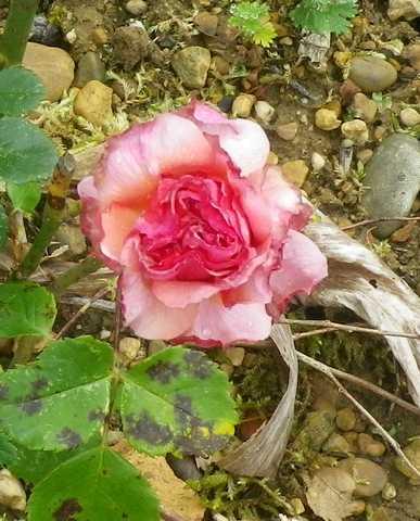 Rosa 'Aloha' !!! - Page 2 04052013