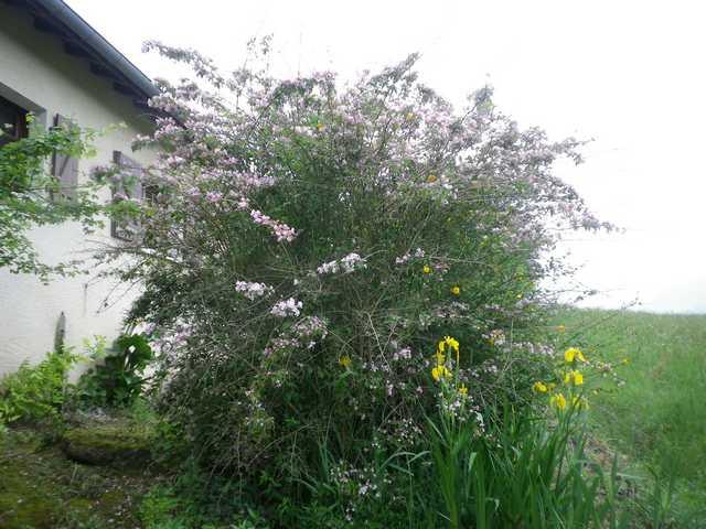 Koltwitzia Amabilis 'Pink Cloud' - Page 3 05052014