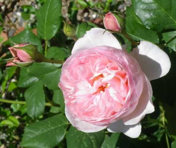 Rosa 'Héritage' !!! - Page 4 07052034