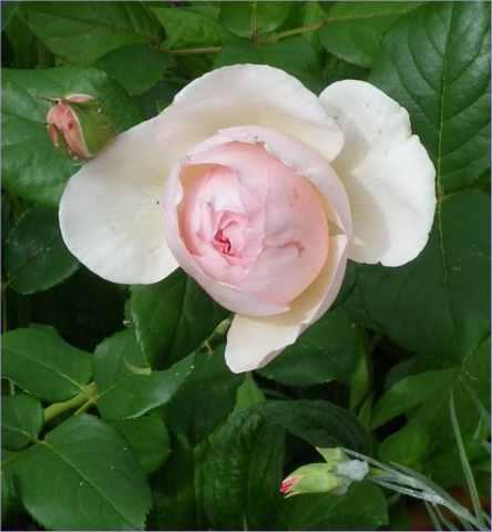 Rosa 'Héritage' !!! - Page 5 08052510