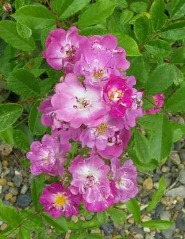 lavender friendship - Page 6 11052015