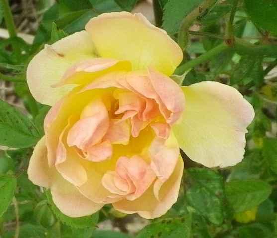 Rosa 'Phyllis Bide' !!! - Page 3 11052019