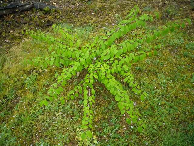 Viburnum plicatum 'Lanarth' !!! 17042025