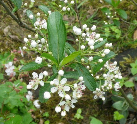 Aronia arbutifolia 'Brilliant' 17042027