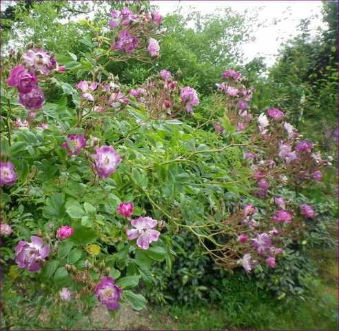 Rosa 'Veilchenblau' ! 22052016