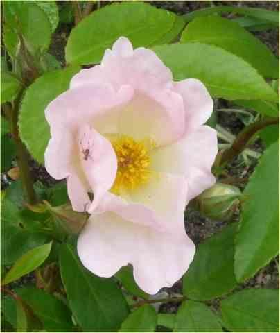 rosier Sally Holmès 23052037