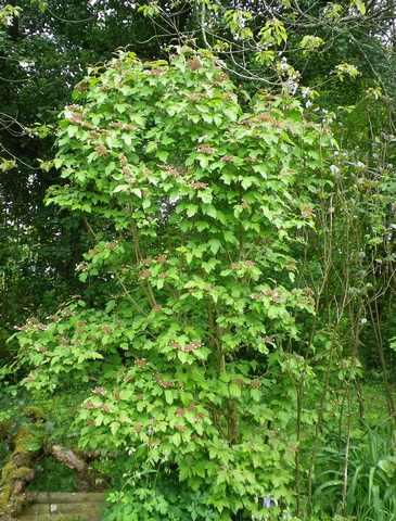 Viburnum sargentii 'Onondaga - Page 2 24042016