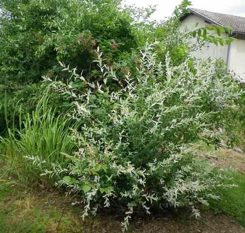 Salix integra 'Hakuro-Nishiki' - Page 2 25052015