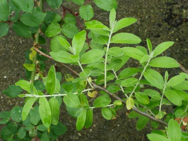 Arbuste de Nounou! 26042018