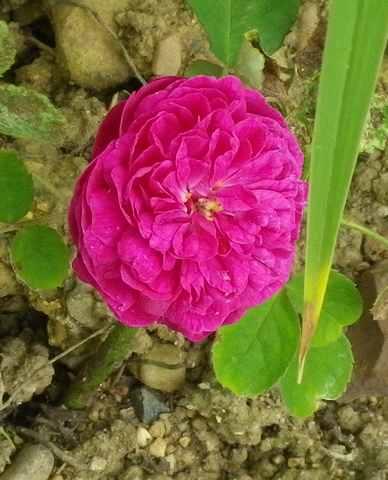 """Rosa """" Rose de Rescht """" - Page 2 26052012"""