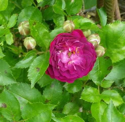 Rosa 'Blue Magenta'  - Page 3 26052016