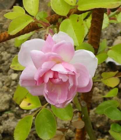 Rosa Jasmina  - Page 2 26052017