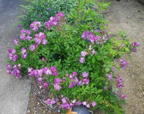 Rosa 'Veilchenblau' ! 27052018