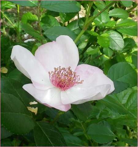 Rosa 'Astronomia' !!! - Page 7 28042017