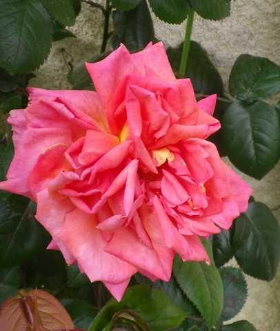 Rosa 'Sdeb' !!! - Page 3 28042512