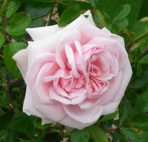 Rosa 'Probuzeni' !!! 29052013