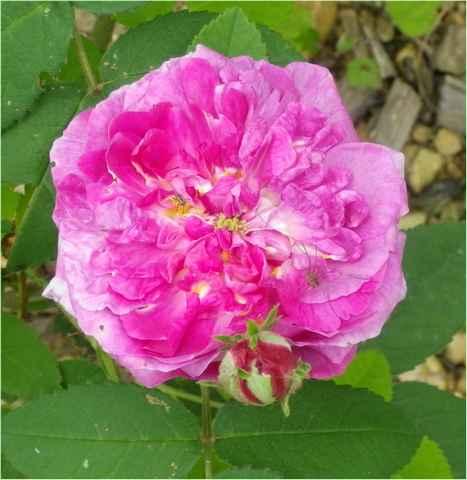 Rosa 'Jenny Duval' 30052013
