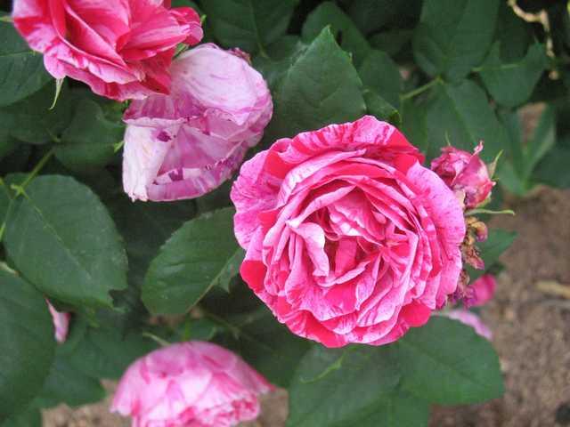 Rosa 'Ferdinand Pichard' - Page 2 Ferdin10