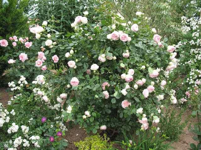 Rosa 'Pierre de Ronsard' !!! Pierre11