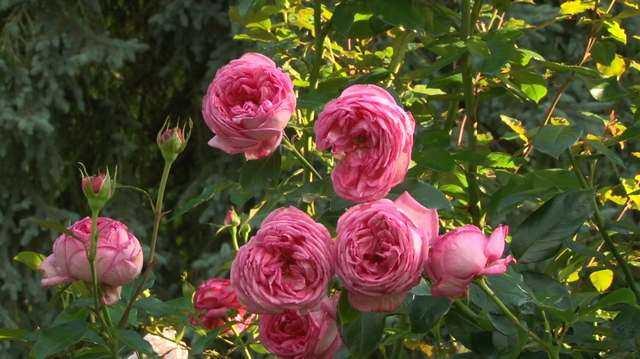 Rosa 'La Rose de Molinard' !!! Rosa_r11