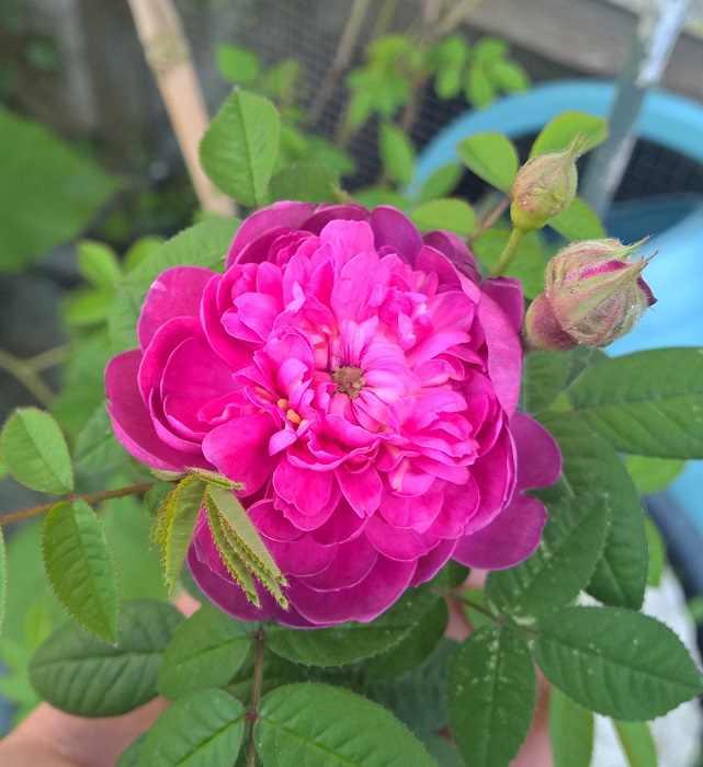 Rosa Pompon de Bourgogne !!! - Page 2 Wp_20115