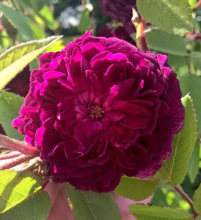 petite renoncule violette Wp_20118