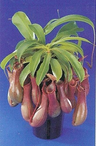 Différence entre Nepenthes alata et x ventrata Photo_10