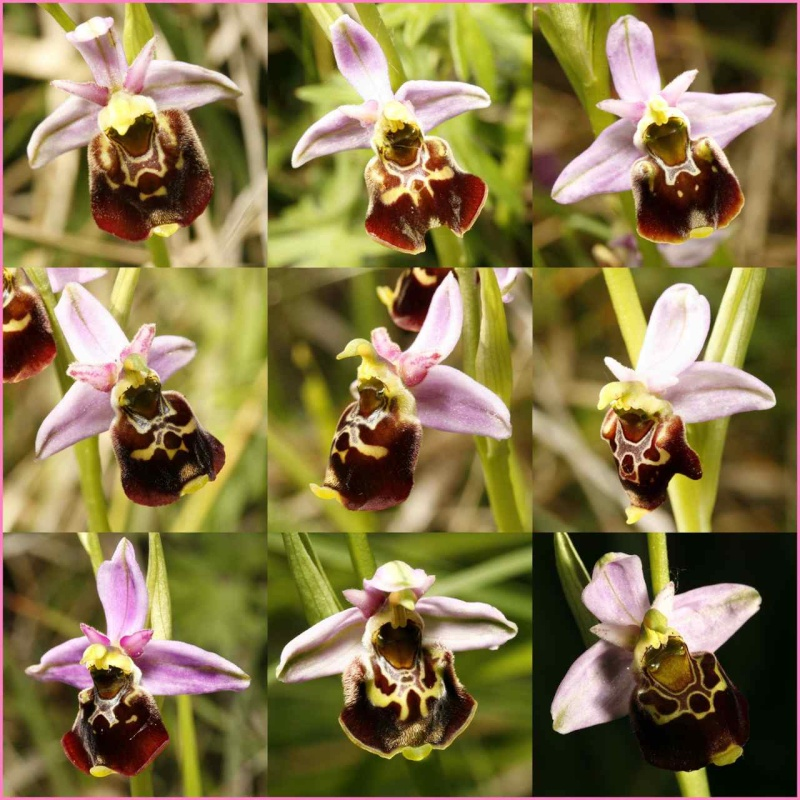 Ophrys gracilis ? - Page 2 Clipbo10