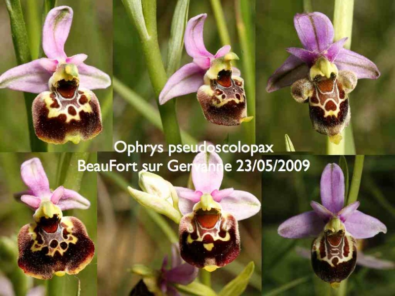 Ophrys gracilis ? Ophrys10