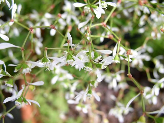 Euphorbe characias 'Silver Swan' Euphor11