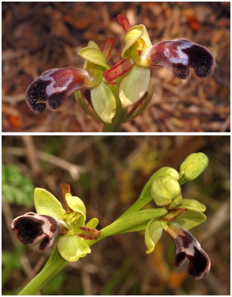 cherche différence entre O.dyris et algarvensis D_022910