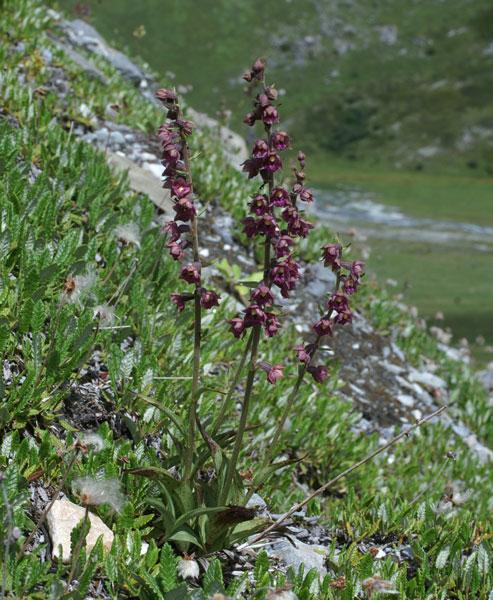 Epipactis atrorubens ( Epipactis pourpre noirâtre ) Epipac13