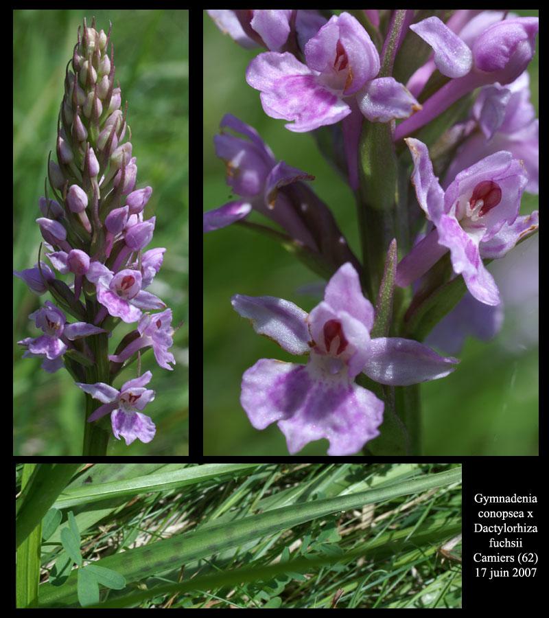 X Dactylodenia fuchsii X conopsea G-cono10