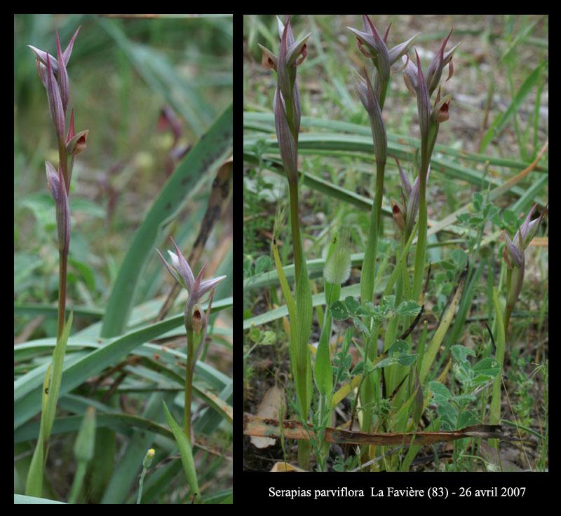 Serapias parviflora ( Sérapias à petites fleurs) S-parv10
