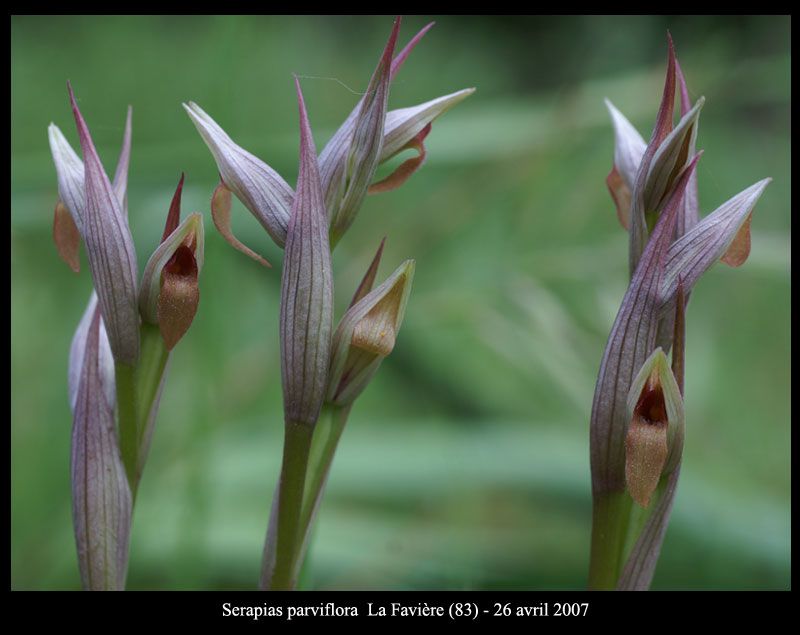 Serapias parviflora ( Sérapias à petites fleurs) S-parv11