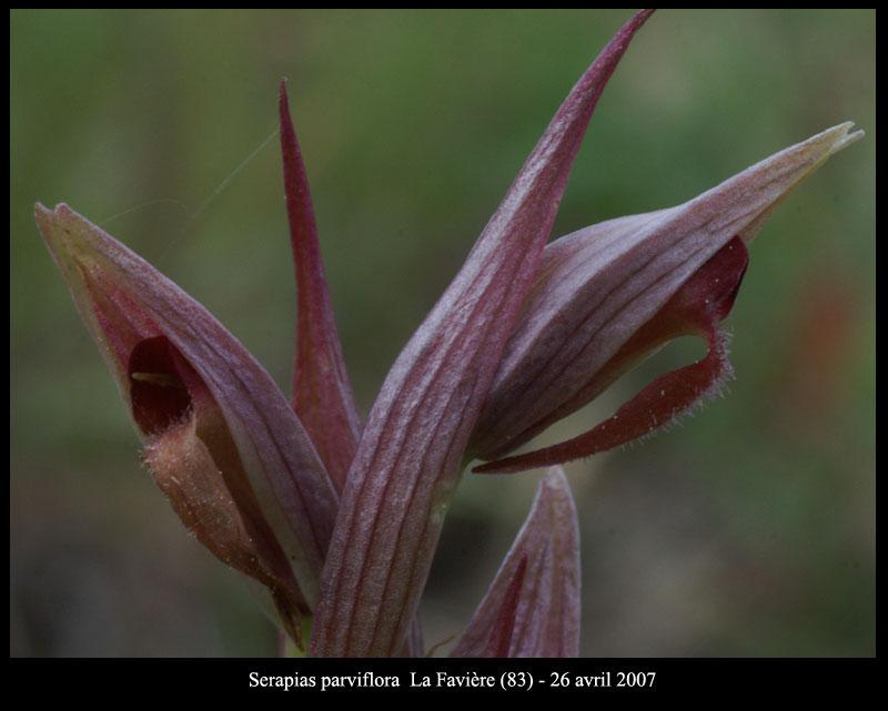 Serapias parviflora ( Sérapias à petites fleurs) S-parv12