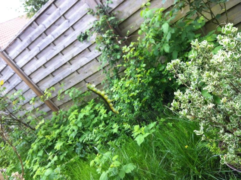 Buis totalement attaqué par des chenilles vertes, la pyrale du buis  Img_4410
