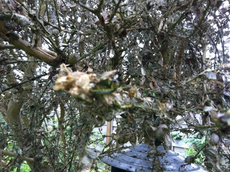 Buis totalement attaqué par des chenilles vertes, la pyrale du buis  Img_4411